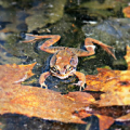 "Maine Wood Frog • <a style=""font-size:0.8em;"" href=""http://www.flickr.com/photos/19172780@N00/13803528603/"" target=""_blank"">View on Flickr</a>"
